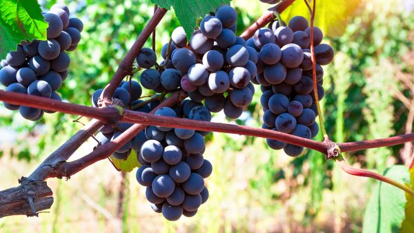 Moldova Wine